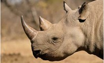 moor_Rhino01