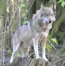 Europäischer Grauwolf (wikimedia commons)