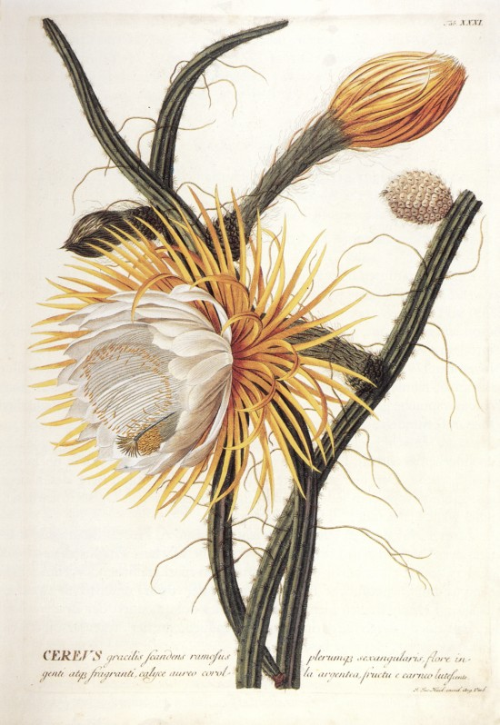 Johann_Jacob_Haid_Cereus