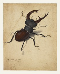 Albrecht Dürer (German, 1471 - 1528), Stag Beetle, German, 1505, Watercolor and gouache; upper left corner of paper added, with tip of left antenna painted in by a later hand, 14.1 x 11.4 cm (5 9/16 x 4 1/2 in.), 83.GC.214.