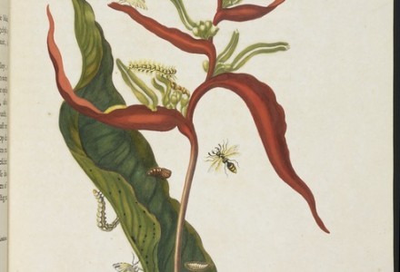 [Musaceae plant (Heliconia acuminata) with metamorphosis of southern armyworm (Spodoptera eridania), unidentified moth, and flying wasp] [Maria Sybilla Meriaen Over de voortteeling en wonderbaerlyke veranderingen der Surinaemsche insecten] , Transfer engraving, hand-colored , 1719 , Merian, Maria Sibylla, 1647-1717 Mulder, Joseph, b. 1659 or 60