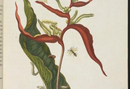 [Musaceae plant (Heliconia acuminata) with metamorphosis of southern armyworm (Spodoptera eridania), unidentified moth, and flying wasp] [Maria Sybilla Meriaen Over de voortteeling en wonderbaerlyke veranderingen der Surinaemsche insecten] , Transfer engraving, hand-colored , 1719 , Merian, Maria Sibylla, 1647-1717 Mulder, Joseph, b. 1659 or 60