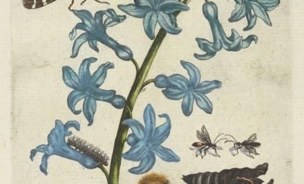Hyacinth [De Europische insecten] , Engraving, hand-colored , 1730 , Merian, Maria Sibylla, 1647-1717