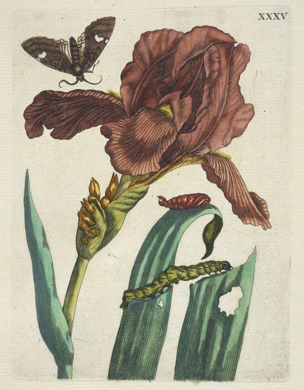 Irias [De Europische insecten] , Engraving, hand-colored , 1730 , Merian, Maria Sibylla, 1647-1717