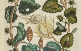 Moerbessen [De Europische insecten] , Engraving, hand-colored , 1730 , Merian, Maria Sibylla, 1647-1717