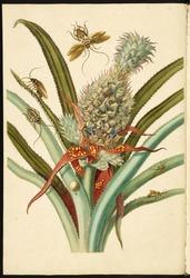 [Pineapple (Ananas comosus) with Australian cockroaches (Periplaneta australasiae) and German cockroaches (Blatella germanica)] [Maria Sybilla Meriaen Over de voortteeling en wonderbaerlyke veranderingen der Surinaemsche insecten] , Transfer engraving, hand-colored , 1719 , Merian, Maria Sibylla, 1647-1717 Mulder, Joseph, b. 1659 or 60