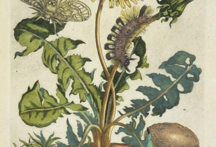 Paardebloem [De Europische insecten] , Transfer print, hand-colored , 1730 , Merian, Maria Sibylla, 1647-1717