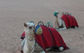 aaaaaaah-beautiful-camels