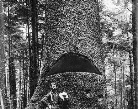 1280px-A_lumberjack_standing_at_the_base_of_a_huge_tree_showing_a_cut_in_the_tree,_ca.1900_(CHS-3368)