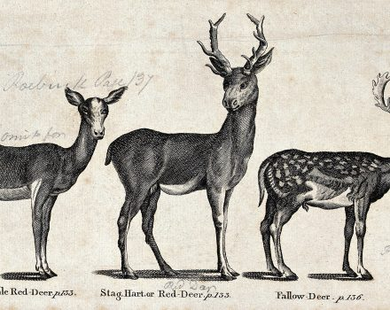 bewick 2560px-A_hind_and_a_stag_of_the_family_of_Red-Deer_and_a_Fallow-dee_Wellcome_V0020459