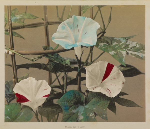 Kazumasa Ogawa, photographer (Japanese, 1860 - 1929), Morning Glory, Japanese, 1896, Hand-colored collotype, 22.1 × 26.4 cm (8 11/16 × 10 3/8 in.), 84.XB.759.6.2.