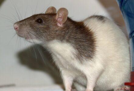 Ratte-Vache